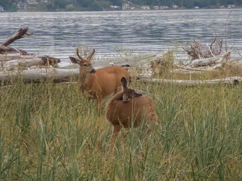 Deer Blake Island Kayaking Blake Island Camping