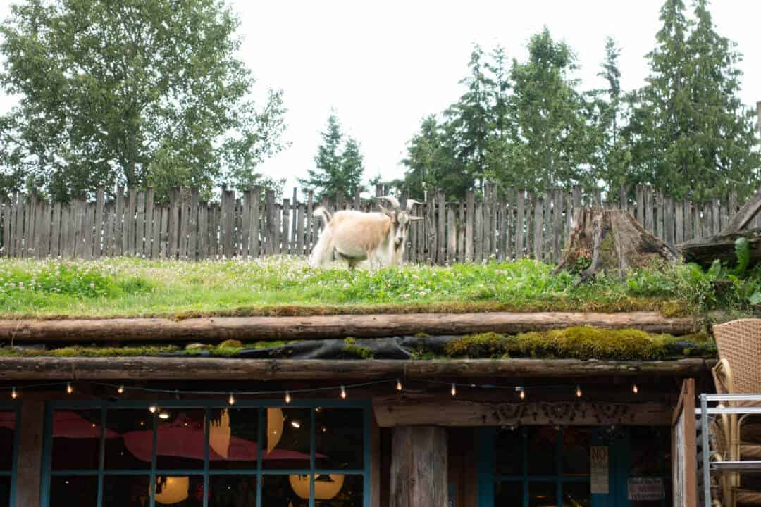 Goat on the roof 1