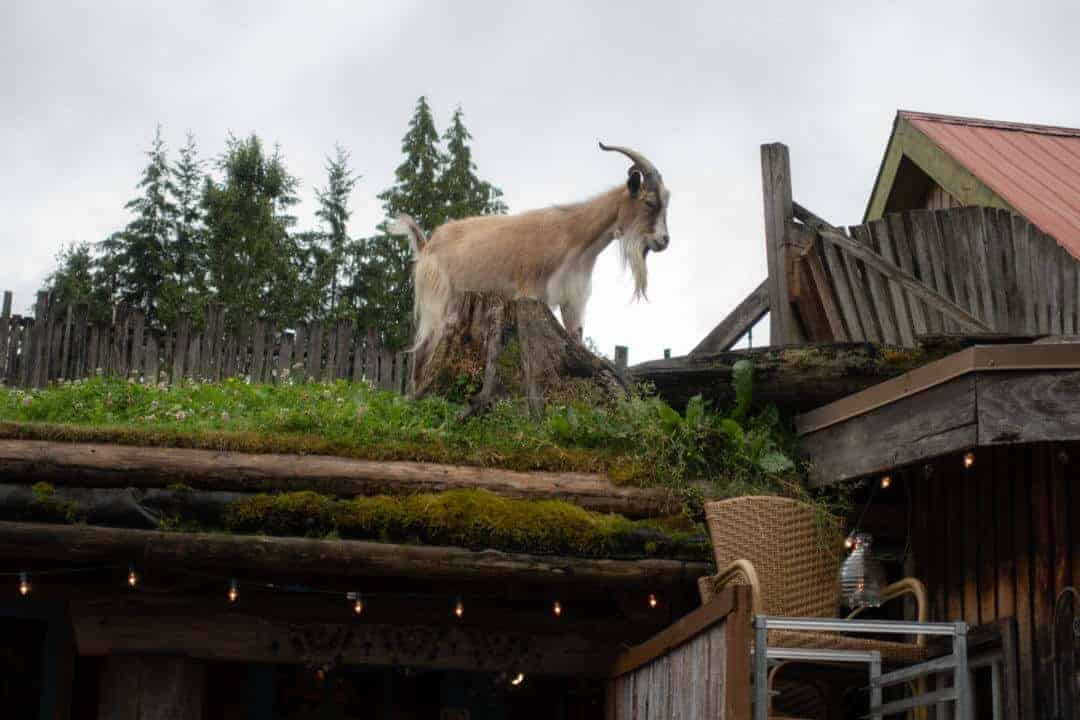 Goat on the roof 2