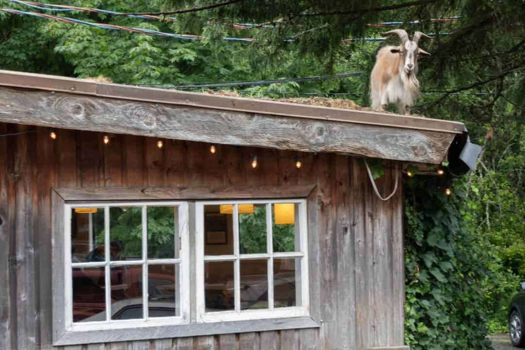 Goat on the roof 3