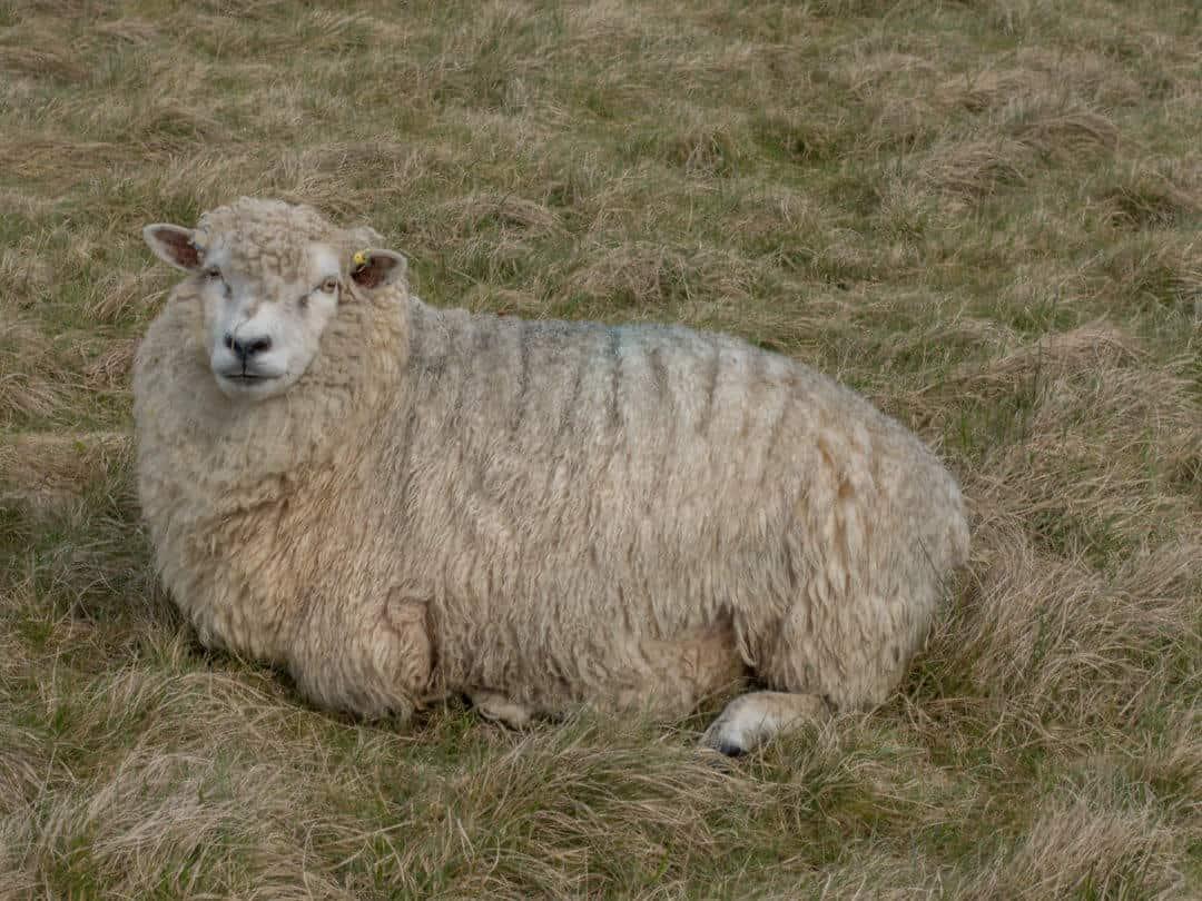 Sheep of Stonehenge