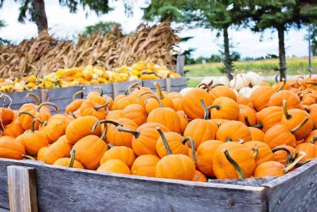 Remlinger Farms Pumpkin Farm Festival Puget Sound Autumn activities 2020