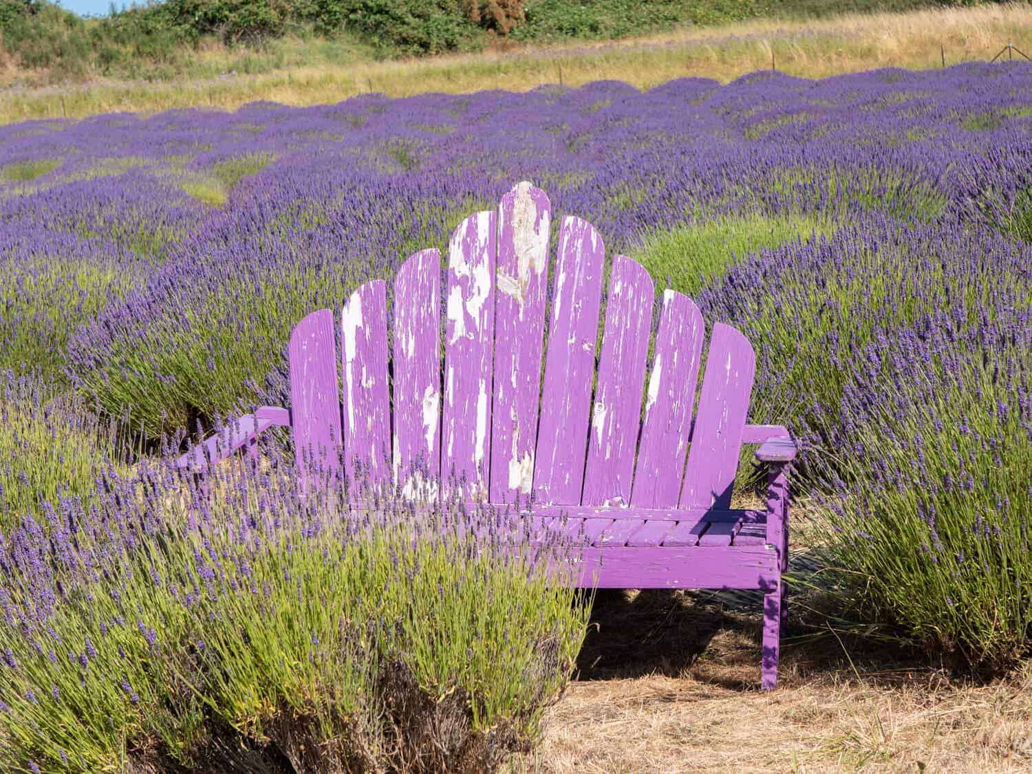Purple bench and lavender at Blackberry Forest Lavender Farm