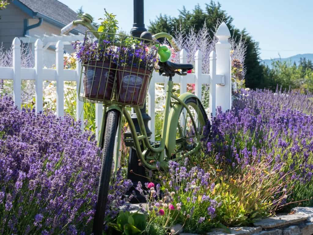 Sequim Lavender Festival Bike Kitty Bs Lavender Farm
