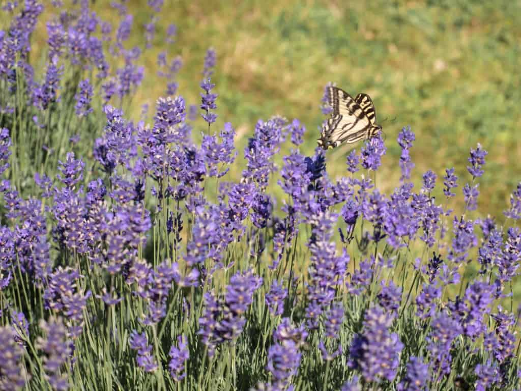 Butterfly and Lavender Sequim Lavender Festival