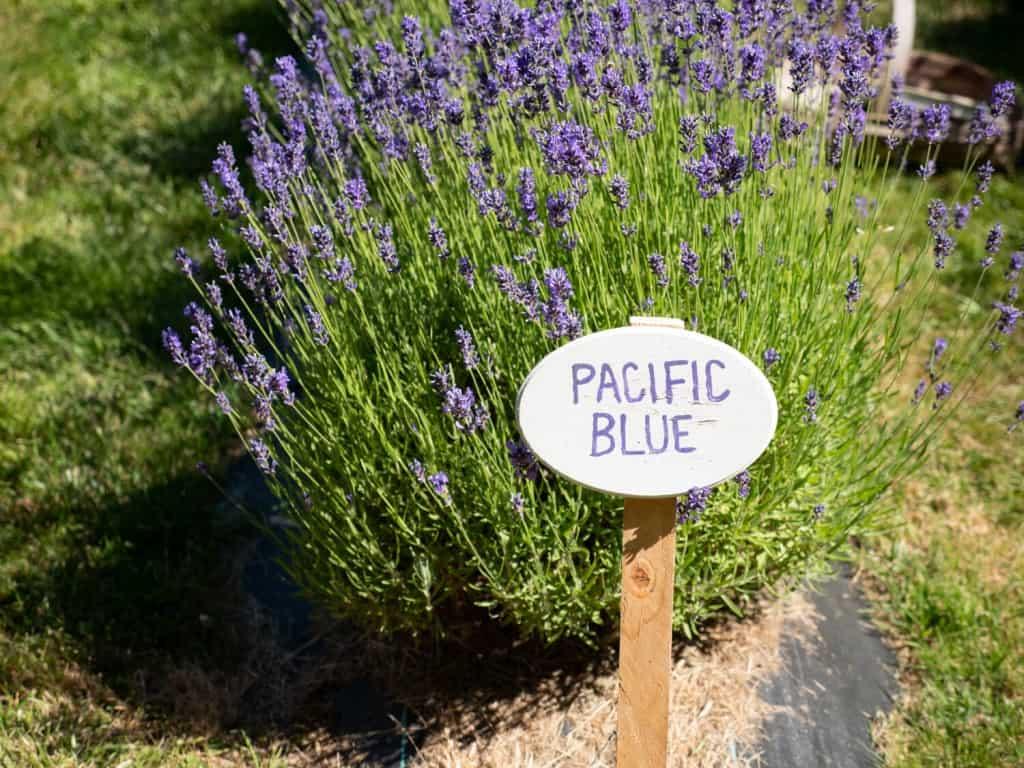 Pacific Blue Lavender Sequim Lavender Festival