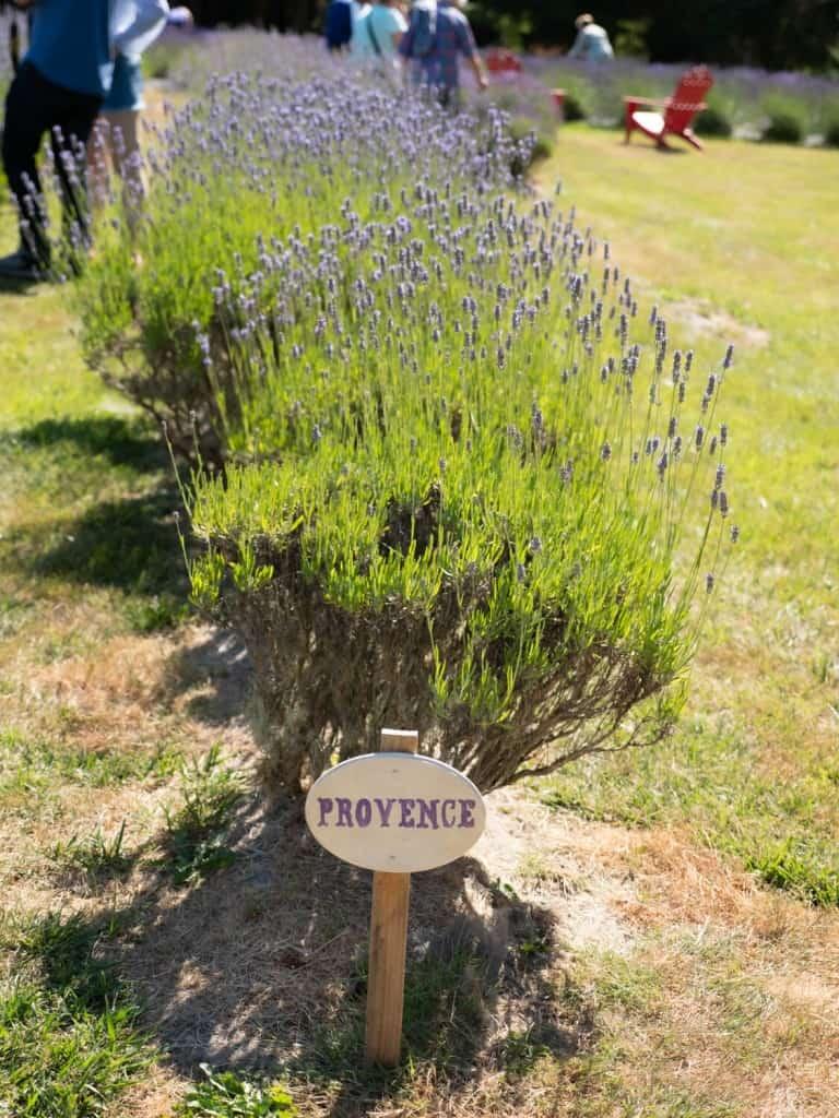 Sequim Lavender Festival Lavender with Provence Sign