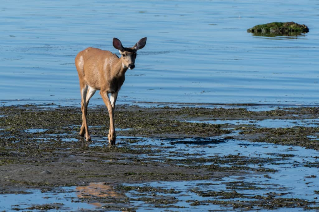 Deer on beach at Foulweather Bluff