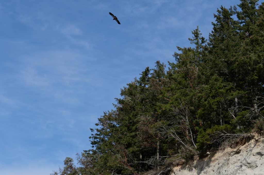 Hawk near the bluff at Foulweathr Bluff