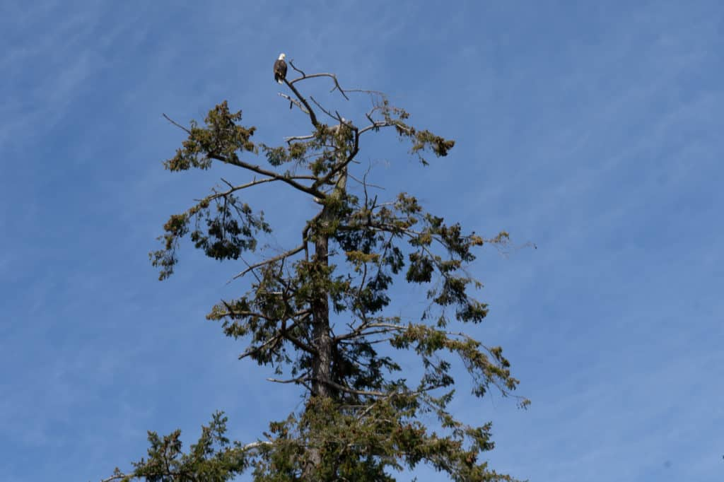 Bald Eagle at Foulweather Bluff
