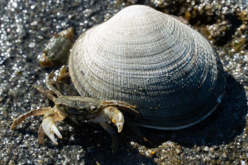 a small crab and shell on the beach at Foulweather Bluff in Hansville