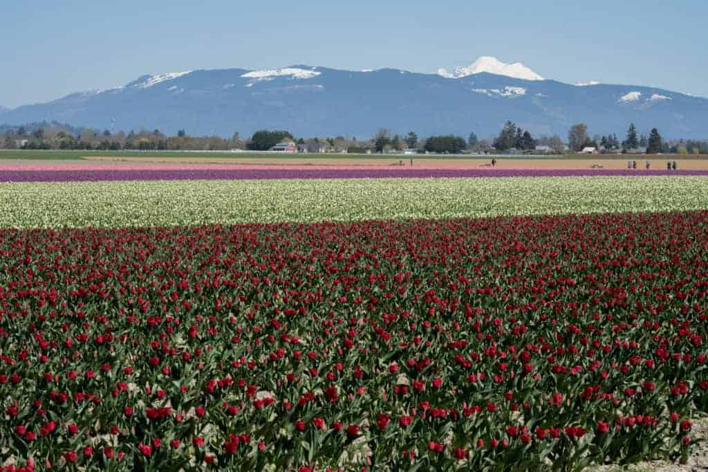 A private tulip field during the Skagit Valley Tulip Festival